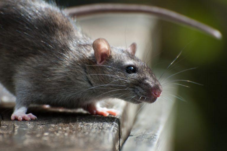 closeup photo of a rat