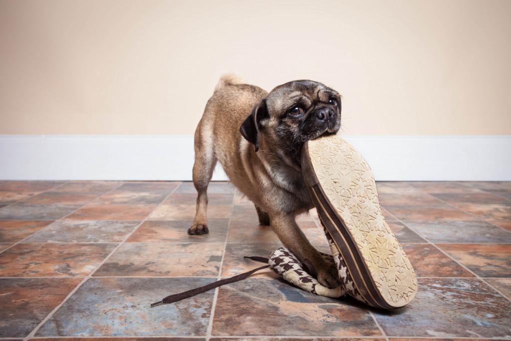 naughty Pug eating shoe on tiled floor